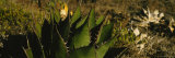 Close-Up of an Aloe Vera Plant, Baja California, Mexico Photographic Print by Panoramic Images 