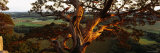 Close-Up of a Cedar Tree, Wisconsin, USA Photographic Print by  Panoramic Images