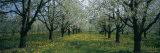 Cherry Trees in a Forest, Kaiserstuhl, Konigschaffhausen, Germany Photographic Print by  Panoramic Images