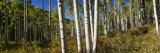 Trees in the Forest, Colorado, USA Photographic Print by  Panoramic Images