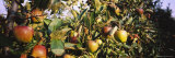 Close-Up of Apple Trees in an Orchard, Weinsberg, Heilbronn, Stuttgart, Baden-Wurttemberg, Germany Photographic Print by Panoramic Images 