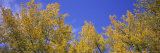 Poplar Trees in a Forest, Minnesota, USA Photographic Print by  Panoramic Images