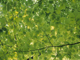 Beech Leaves Photographic Print by Jon Arnold