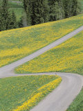 Empty Winding Road and Yellow Wild Flowers, Dolomites, Italy Photographic Print by Steve Vidler