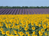 Sunflower Fields, Provence, France Photographic Print by Steve Vidler