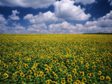 Sunflower Field, Provence, France Photographic Print by Jon Arnold
