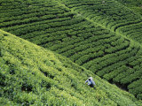 Tea Fields, Nuwara Eliya, Sri Lanka Fotografie-Druck von Steve Vidler