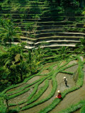 Ubud, Rice Terraces, Bali, Indonesia Photographic Print by Steve Vidler