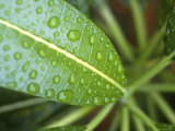 Leaf Detail, Maldives, Indian Ocean Photographic Print by Jon Arnold
