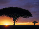 Acacia Tree at Sunrise, Serengeti National Park, Tanzania Fotografisk tryk af Paul Joynson-hicks