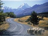 Sheep Nr. Mt. Cook, New Zealand Fotografisk tryk af Peter Adams