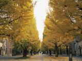 Autumn Foliage, Ginkgo Trees, Tokyo University, Tokyo, Japan Photographic Print by Steve Vidler