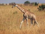 Giraffe, Murchison Falls Conservation Area, Uganda, Africa Fotografie-Druck von Ivan Vdovin