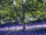 Bluebell and Silver Birch Photographic Print by Jon Arnold