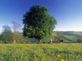 Tree in landscape, Cotswolds, England Photographic Print by Peter Adams