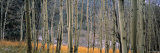Aspen Trees, Colorado, USA Photographic Print by Walter Bibikow