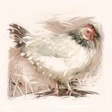 Light Sussex Hen Photographic Print by Tim Kahane