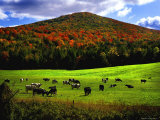 Vermont Cows Photographic Print by Jody Miller