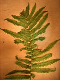 Fern Leaves Photographic Print by Robert Cattan