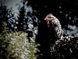 Black Spotted Rooster in Field Photographic Print by Tim Kahane
