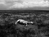 Horse Lying on Side in Field Photographic Print by Krzysztof Rost