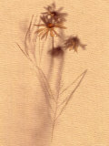 Wilted Flower and Stem Sketch Photographic Print by Robert Cattan