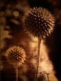 Sepia Dandelions Fotografisk tryk af Robert Cattan