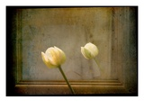 White Tulip against Framed Mirror Photographic Print by Mia Friedrich
