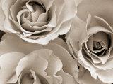 Three White Roses Fotografisk tryk af Robert Cattan