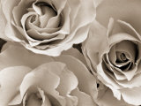Three White Roses Fotografie-Druck von Robert Cattan