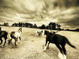 Horses Running and Playing in Barren Field Photographie par Jan Lakey