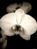 Sepia Orchid Fotodruck von Lydia Marano