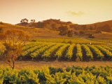 Vineyard, Barossa Valley, South Australia, Australia Photographic Print by Doug Pearson
