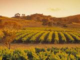Vineyard, Barossa Valley, South Australia, Australia Photographic Print by Doug Pearson