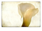 Detail of Calla Lily Photographic Print by Mia Friedrich