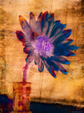 Purple Daisy Photographic Print by Robert Cattan