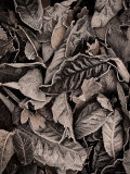 Sepia Leaves Photographic Print by Tim Kahane