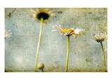 Study of White Daisies Fotografie-Druck von Mia Friedrich