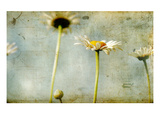 Study of White Daisies Photographic Print by Mia Friedrich