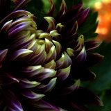 Dahlia Photographic Print by Katherine Sanderson