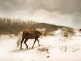 Chocolate Horse Walking through Sand Dunes Photographic Print by Jan Lakey