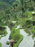 Rice Fields, Central Bali, Indonesia Photographie par Peter Adams