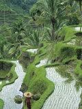Rice Fields, Central Bali, Indonesia Fotodruck von Peter Adams