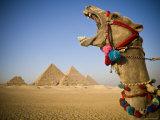 Camel at the Pyramids, Giza, Cairo, Egypt Photographic Print by Doug Pearson