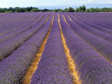 Lavender Fields, Provence, France Photographic Print by Jon Arnold