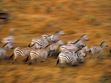 Zebras, Maasai Mara Game Reserve, Kenya Photographic Print by Paul Joynson-hicks