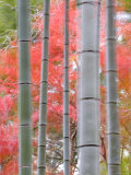 Maples Trees and Bamboo, Arashiyama, Kyoto, Japan Photographic Print by Gavin Hellier