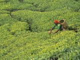 Tea Plantation, Kerala, Southern India Photographic Print by Peter Adams