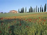 Poppies, Tuscany, Italy Photographic Print by Peter Adams