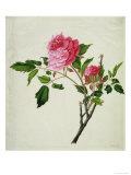 Pink Peony, c.1800-1840 Lámina giclée